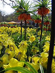 Bilder Niederlande Park Narzissen Schachblume Frühling Keukenhof Blumen