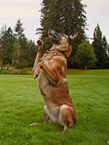 Bilder Hunde Gras Shepherd