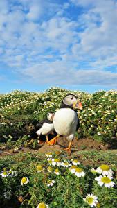 Fotos Grünland Kamillen Himmel Vögel Papageientaucher Puffin ein Tier Natur