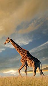 Bilder Giraffe Himmel Tiere