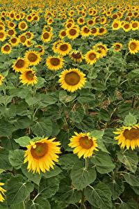 Bilder Sonnenblumen Viel Felder Blüte
