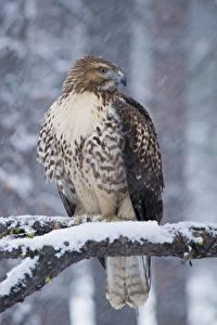 Bilder Winter Vögel Habicht Ast Schnee Red-tailed hawk Tiere
