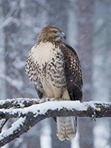 Bilder Winter Vögel Habicht Ast Schnee Red-tailed hawk Tiere