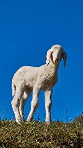 Pictures Sheep Grass Animals