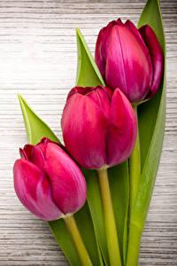 Bilder Tulpen Nahaufnahme Bretter Drei 3 Rot Blüte