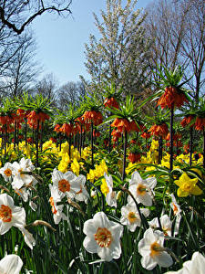 Hintergrundbilder Niederlande Park Narzissen Fritillaria Keukenhof Blumen