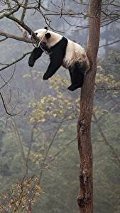 Photo Pandas Branches Lying down Sleep Trunk tree Animals