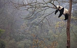 Hintergrundbilder Pandas Ast Liegt Schlaf Baumstamm Tiere