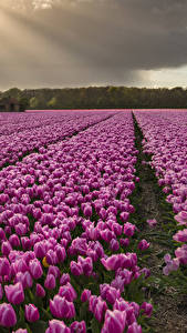 Image Tulips Fields Many Violet Flowers