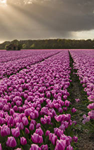 Hintergrundbilder Tulpen Acker Viel Violett Blumen