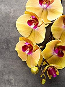 Bilder Orchideen Großansicht Gelb Blumen