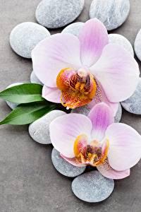 Hintergrundbilder Orchideen Steine Grauer Hintergrund Blumen