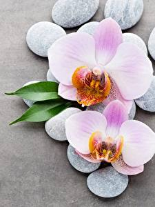 Wallpaper Orchid Stones Gray background Flowers