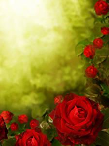 Fotos Rose Hautnah Rot Blüte