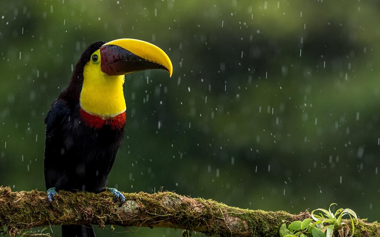 Aves Lluvia Tucanes Pico zoología Rama Musgo animales, un animal, pájaro, pájaros, ramphastidae Animalia