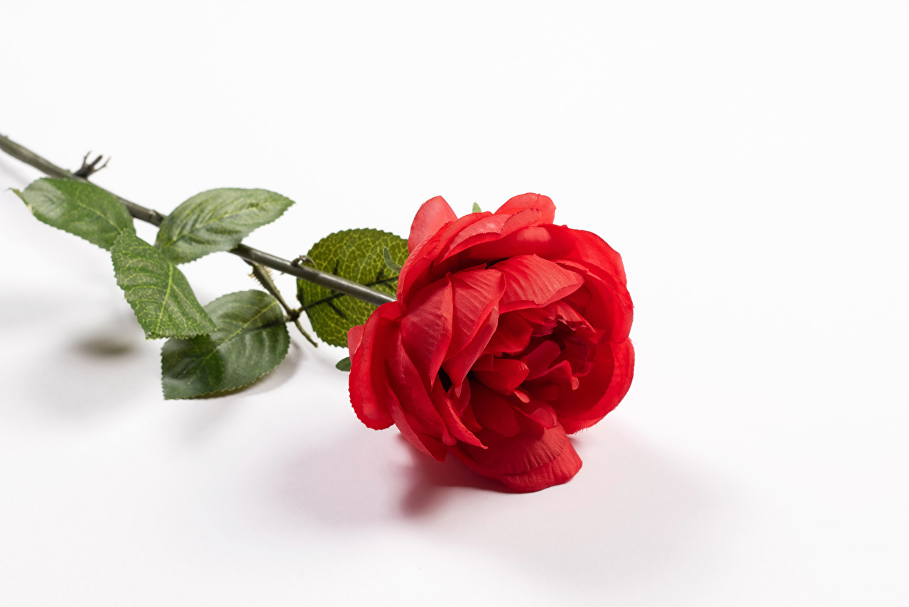 Images Red Roses Flowers Closeup White Background