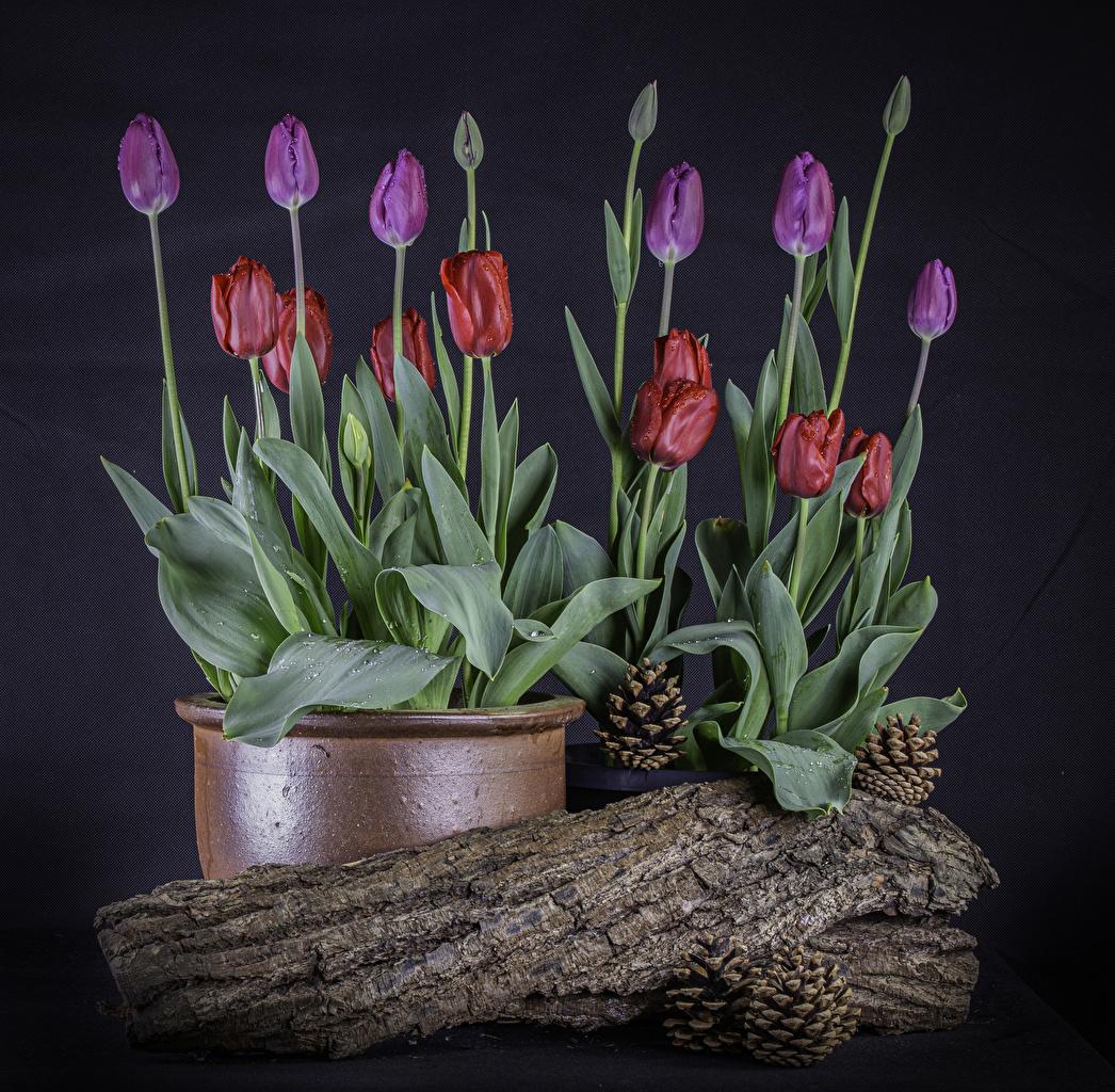 Tulipes Pot de fleurs Cône Bourgeon fleur, tulipe Fleurs