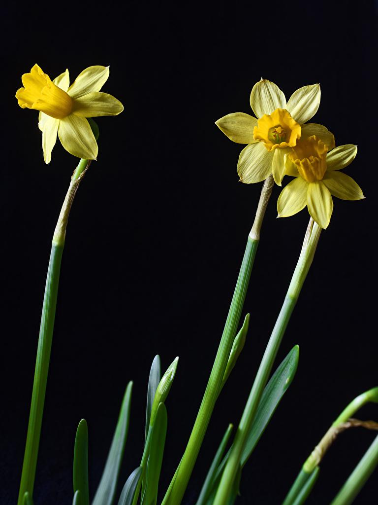 Foto Blüte Narzissen Drei 3 Nahaufnahme Schwarzer Hintergrund  für Handy Blumen hautnah Großansicht