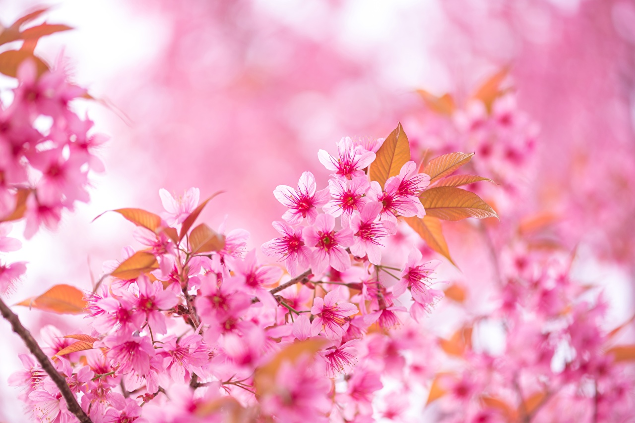 Photo Sakura Pink color Flowers Branches Closeup Cherry blossom flower