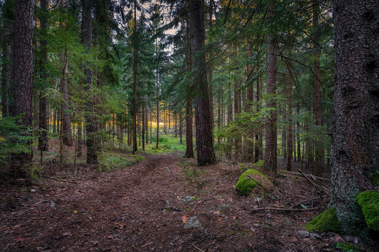 Achtergronden Natuur Spar sparren bos Mossen Een boom Bossen Mos bladmossen Bomen