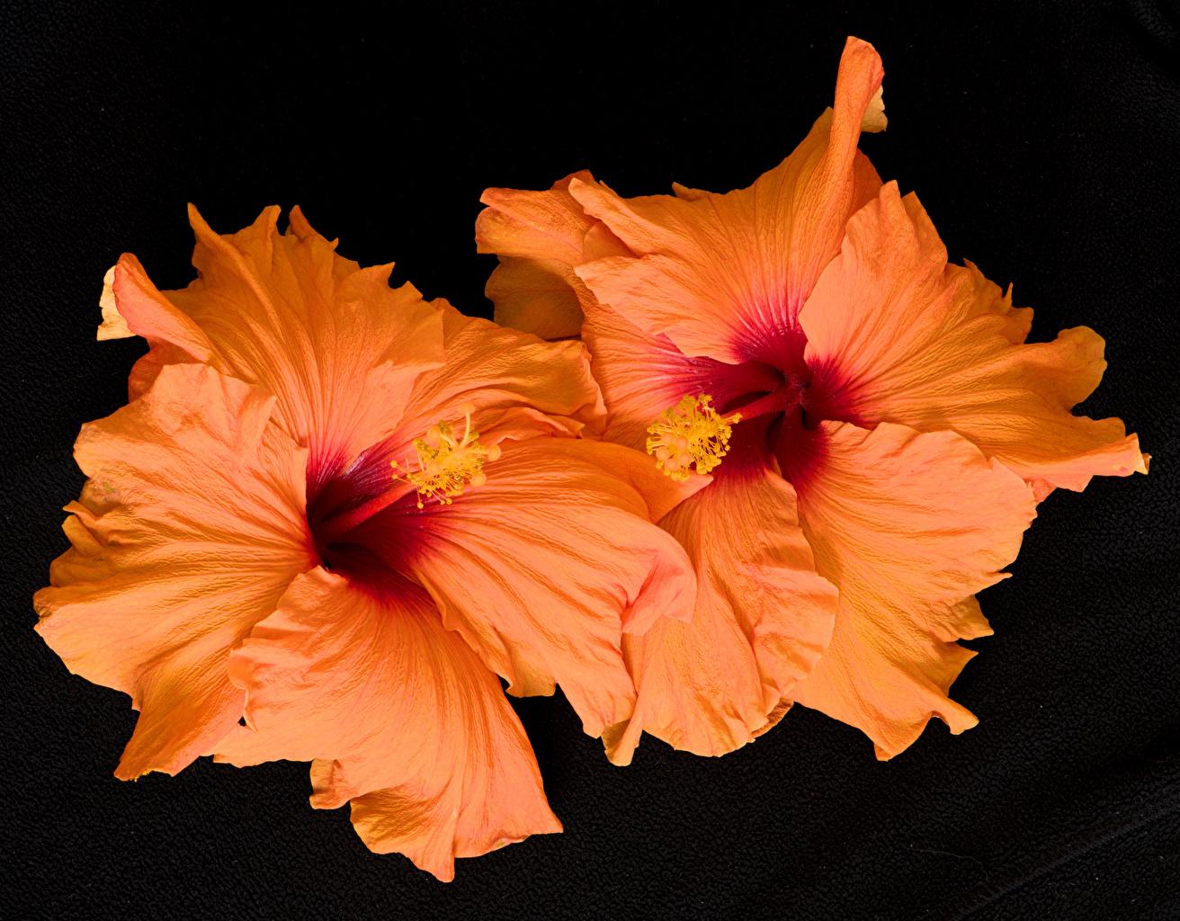 ,木槿,特寫,黑色背景,橙色,花卉,