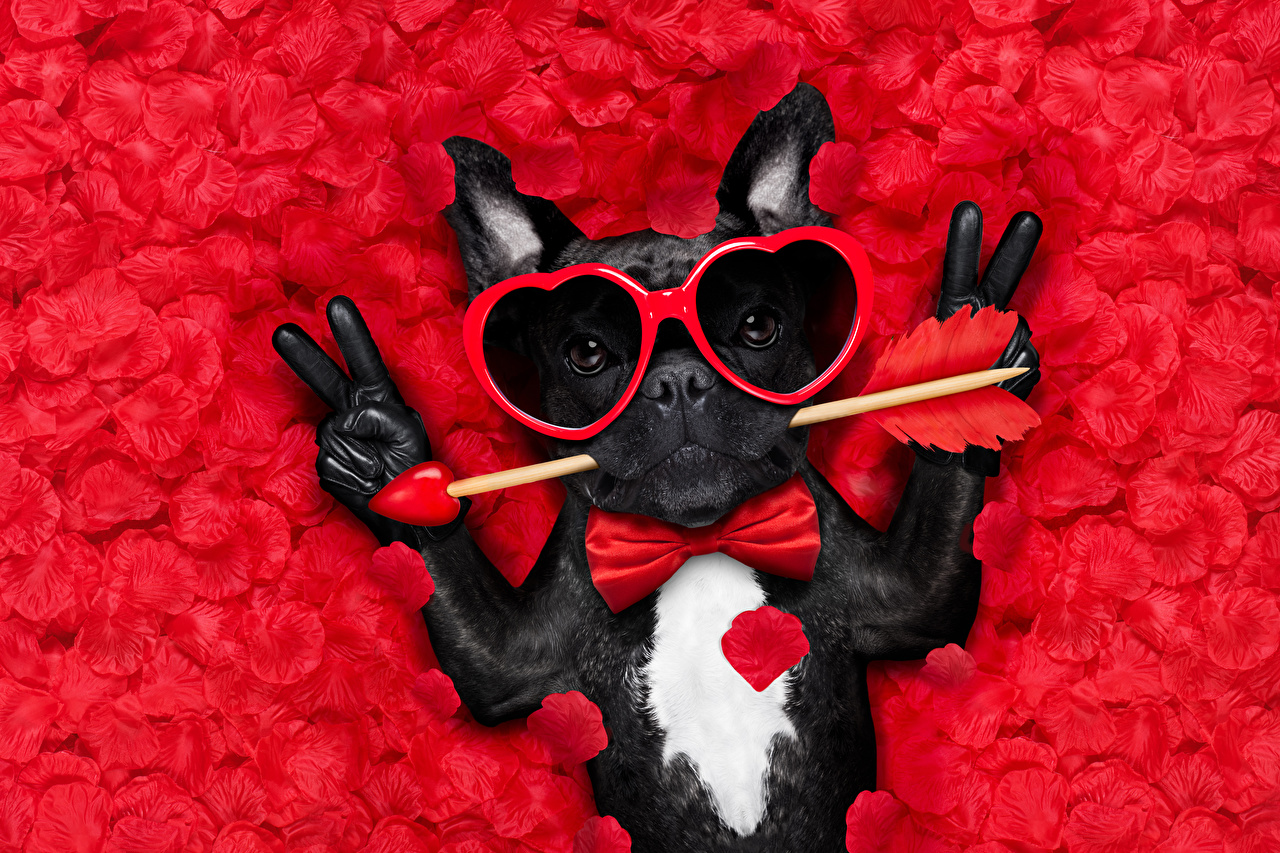Wallpaper Bulldog Valentine's Day Dogs Heart Funny Fingers Bow tie eyeglasses Animals Red background dog Glasses animal