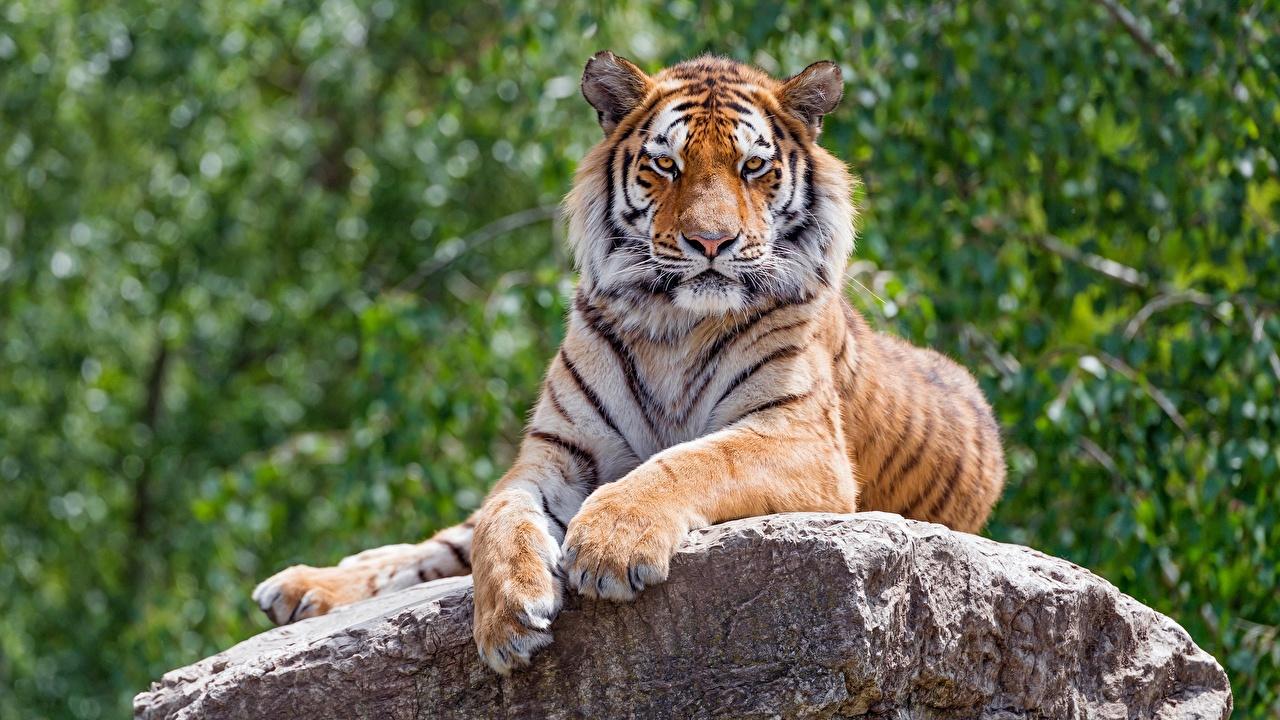 Fotos von Tiger Pfote Stein Blick Tiere Steine Starren ein Tier