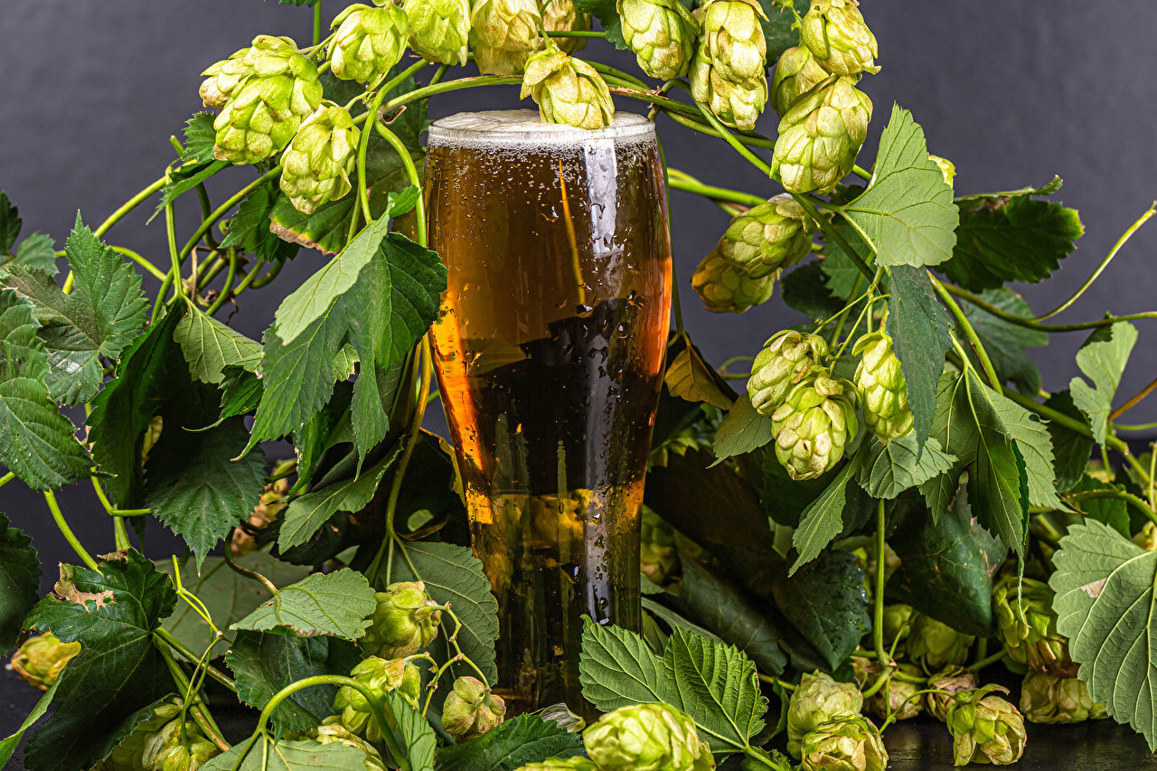 Picture Beer Hops Highball glass Food Branches Humulus