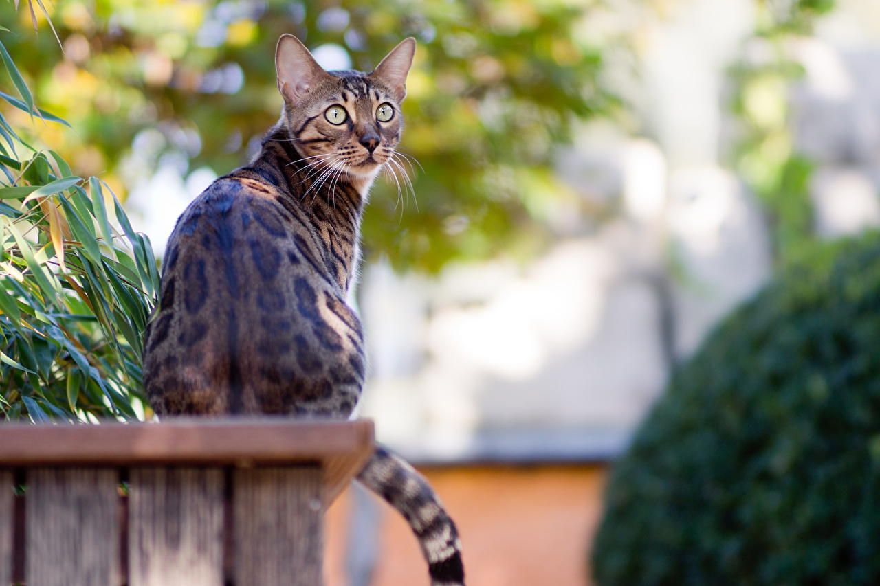 Bilder von Bengalkatze Katze Sitzend Tiere Katzen Hauskatze sitzt sitzen ein Tier