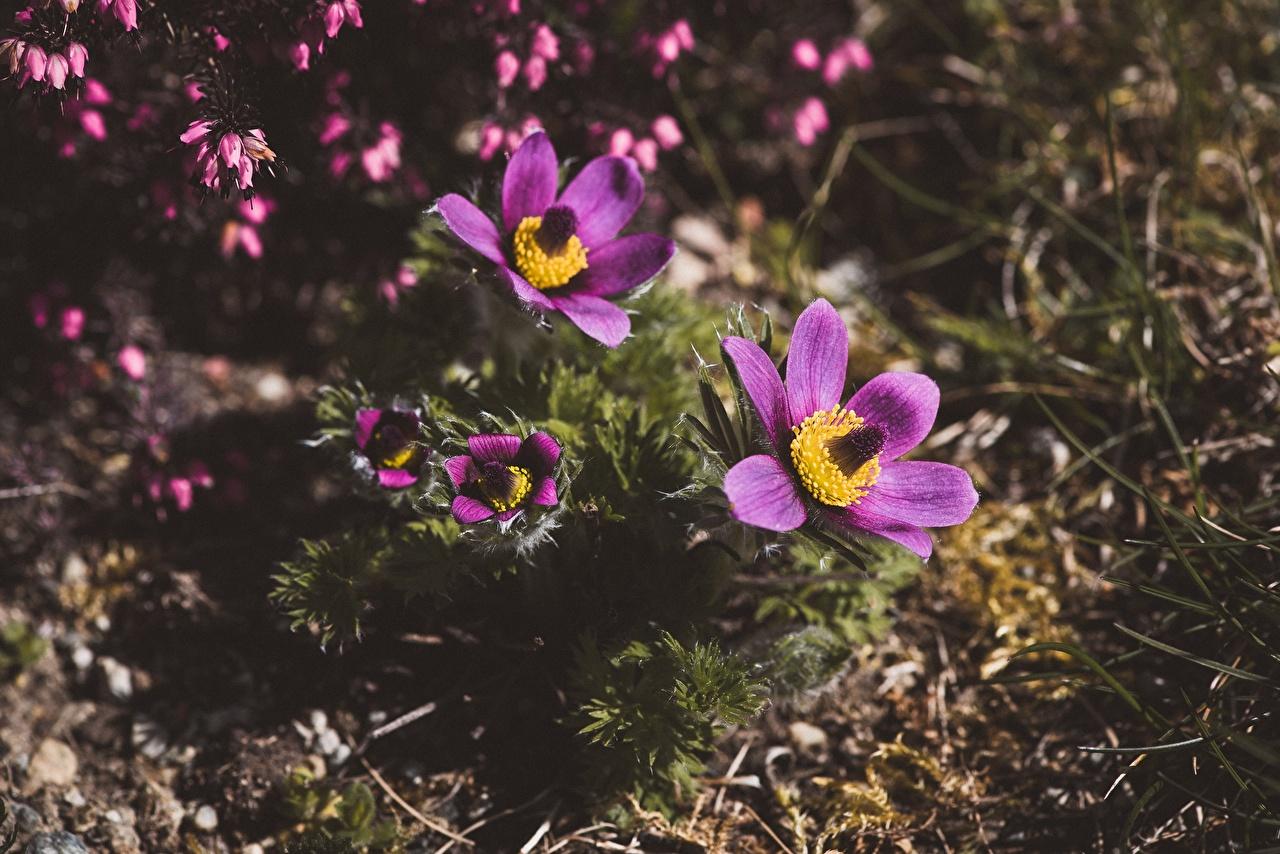 Foto Bokeh Violett Blumen Kuhschellen unscharfer Hintergrund Blüte