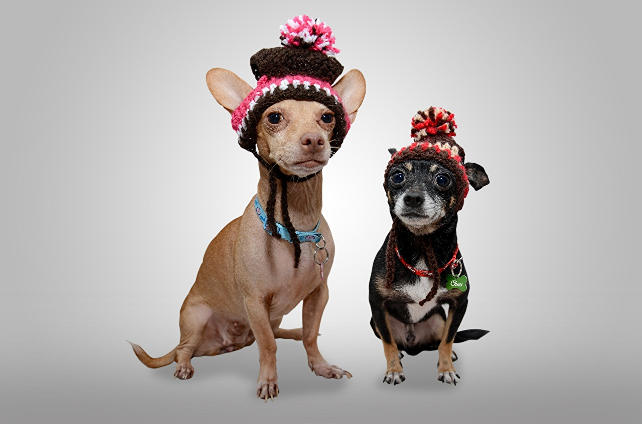 Wallpaper Chihuahua dog Two Winter hat Animals Staring Gray background Dogs 2 Glance animal