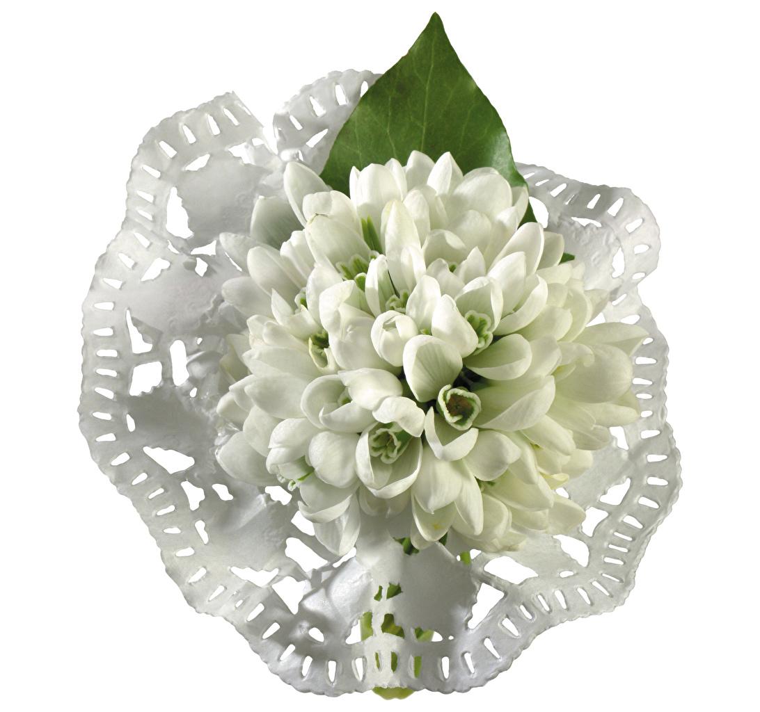 ,雪花蓮,特寫,白色背景,花卉,