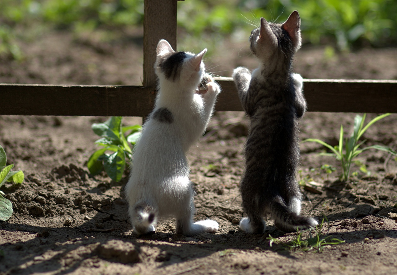 Desktop Wallpapers kitty cat Cats Two Fence Back view animal Kittens cat 2 Animals