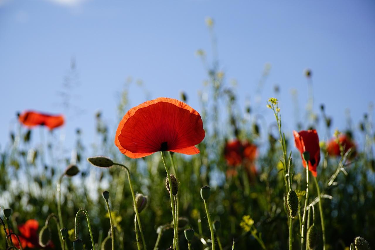 Fotos von Bokeh Rot Blumen Mohnblumen Knospe unscharfer Hintergrund Mohn Blüte Blütenknospe