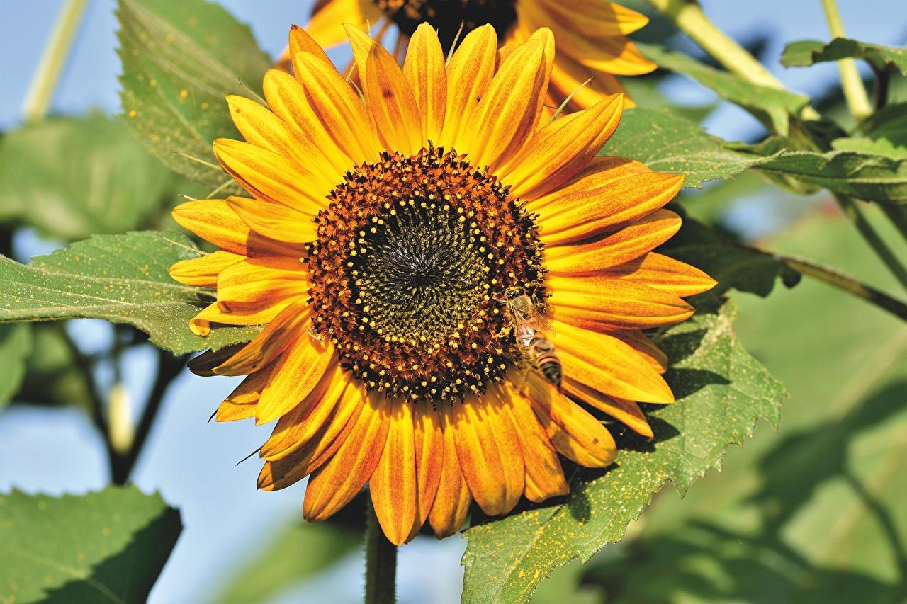 Обои для рабочего стола Пчелы Насекомые Желтый Цветы Подсолнечник вблизи насекомое желтая желтые желтых цветок Подсолнухи Крупным планом