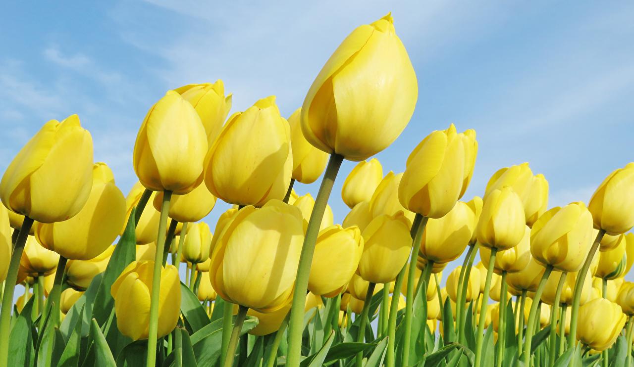 Fotos Gelb Tulpen Blumen Viel Großansicht Blüte hautnah Nahaufnahme