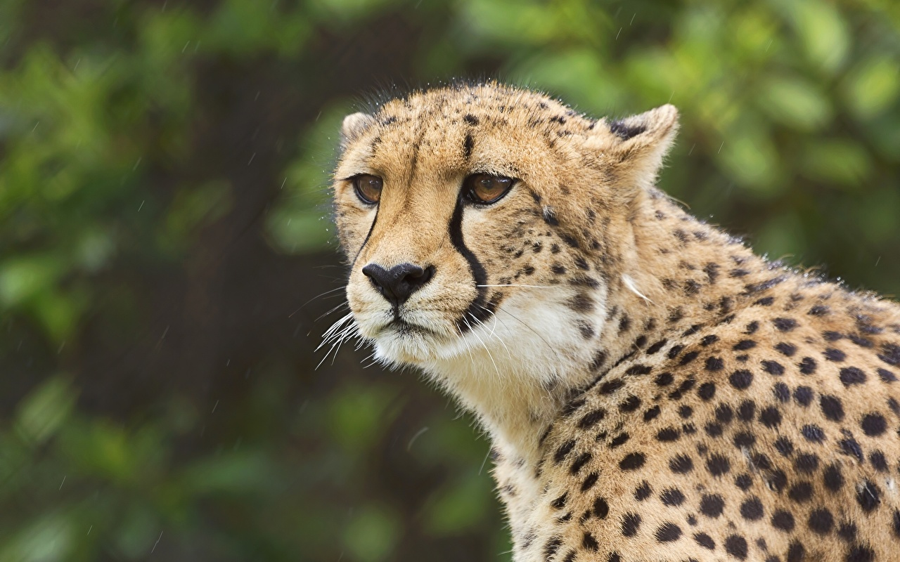 Photo cheetah Big cats Glance Animals Cheetahs animal Staring