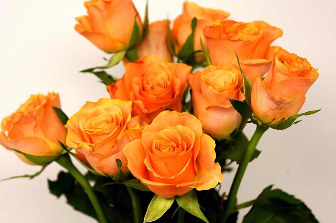 Bilder von Rosen Orange Blumen Großansicht Blüte