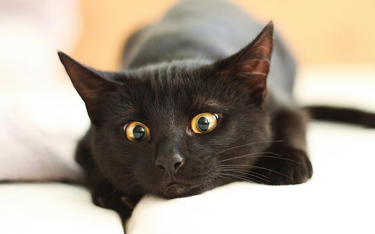 壁紙 飼い猫 黑 凝視 動物のスナウト おもしろい 動物