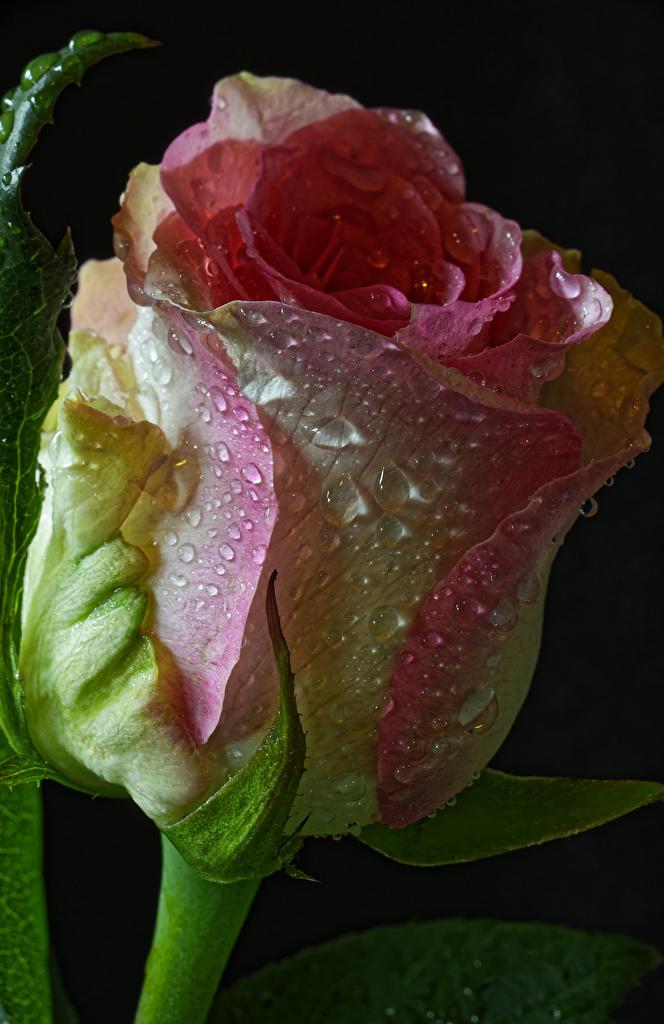 Bilder von Rosen Blumen Tropfen Großansicht Schwarzer Hintergrund