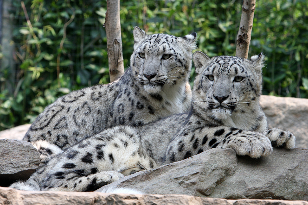 Images Snow leopards Lying down 2 Paws Stones Glance Animals esting laying Two stone animal Staring