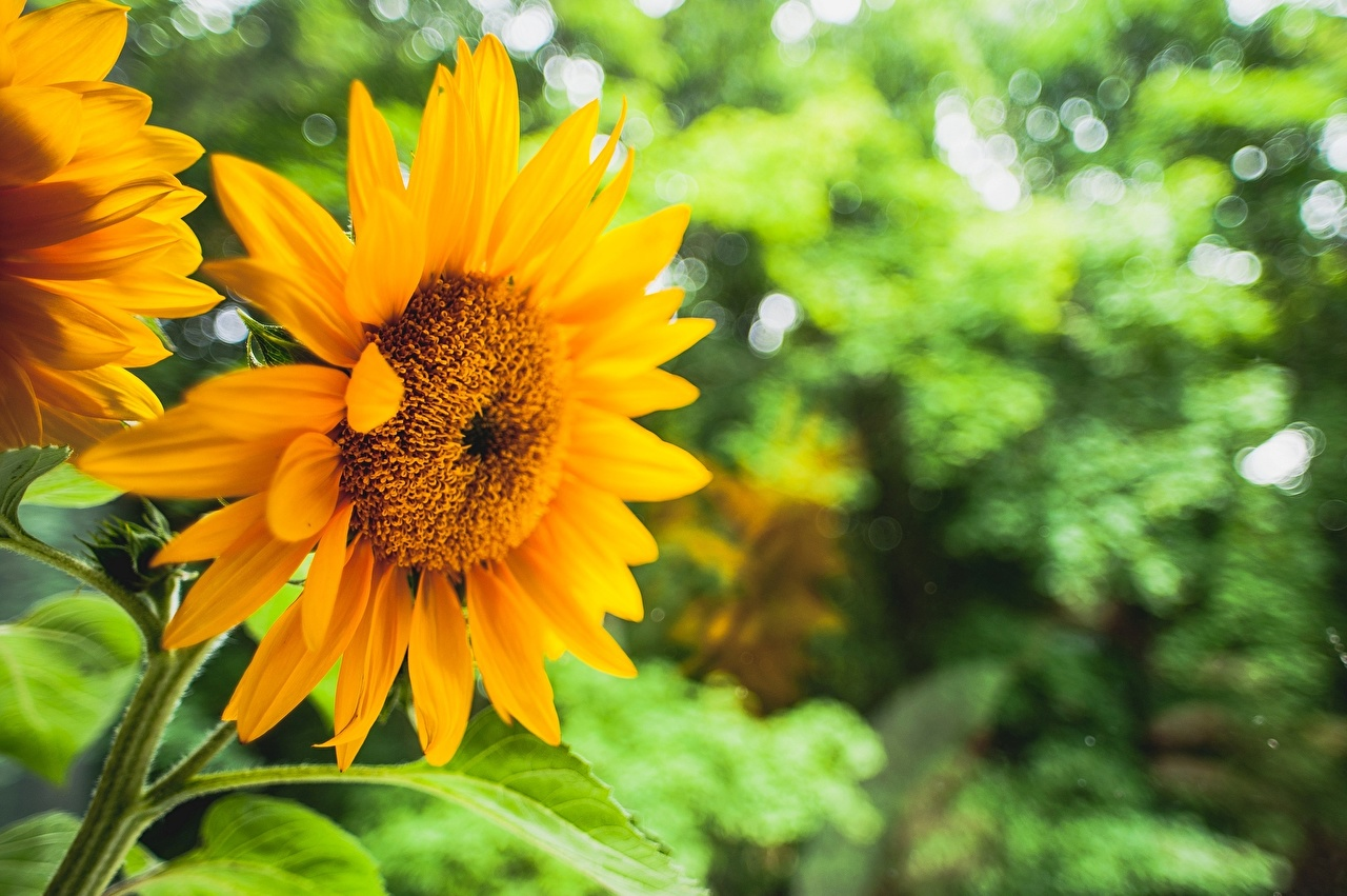 Images flower Sunflowers Flowers Helianthus