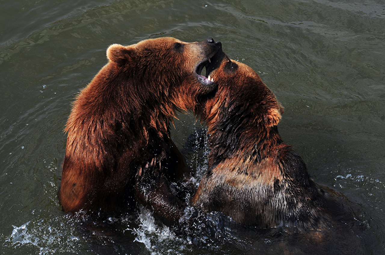 Photos bear Two Fight Roar Water Animals Bears 2 angry animal