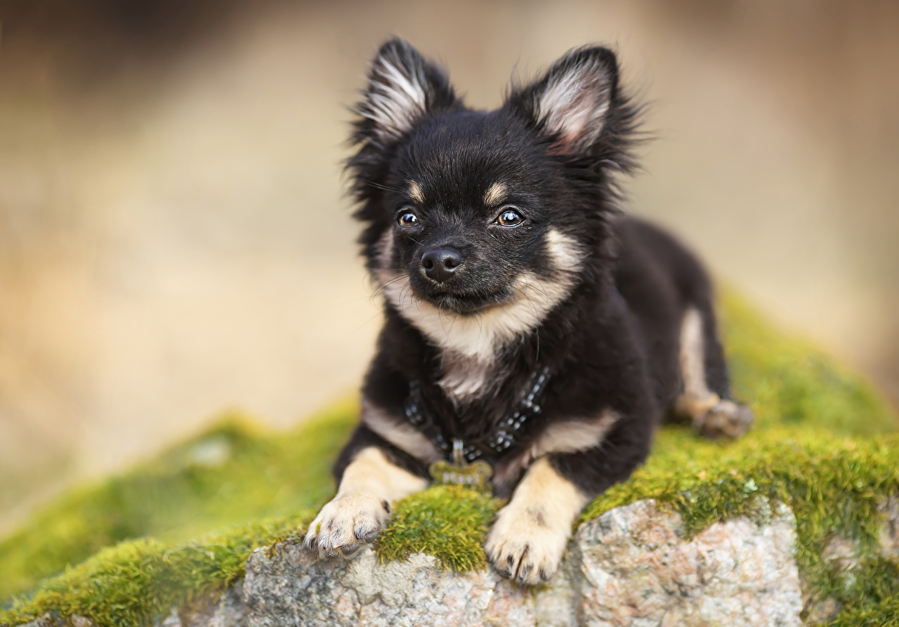 Image Puppy Chihuahua dog blurred background Paws animal puppies Dogs Bokeh Animals