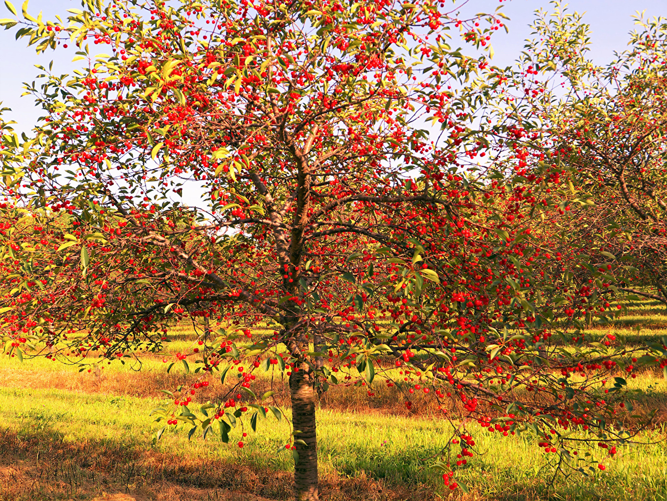 Wallpaper Nature Cherry Gardens Branches Trees