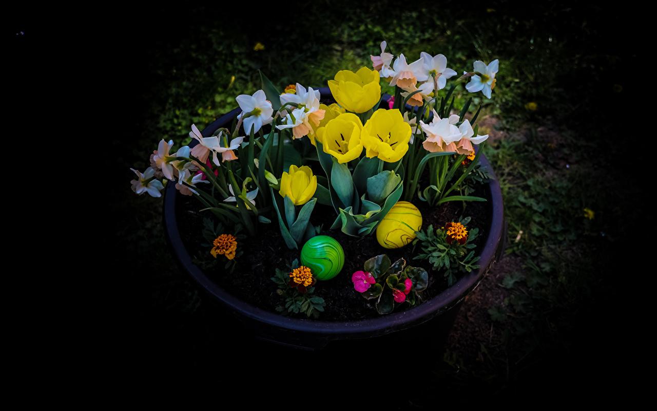 Bilder Ostern eier Tulpen Blumen Narzissen Schwarzer Hintergrund Ei Blüte