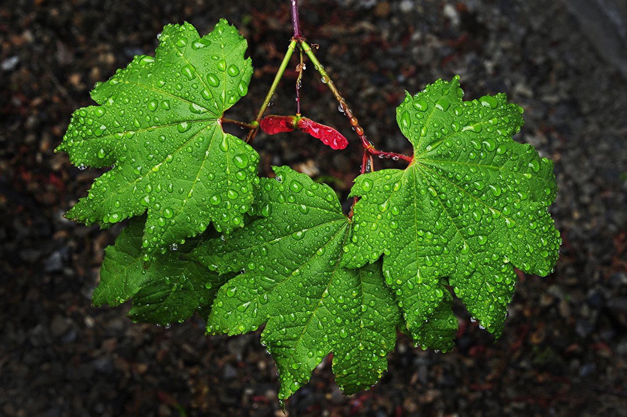 Picture Foliage acer Green Nature Drops Closeup Leaf Maple