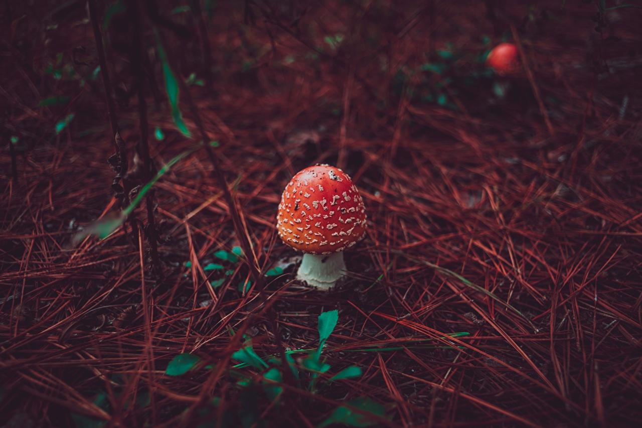 Photos Red Nature Amanita Mushrooms nature