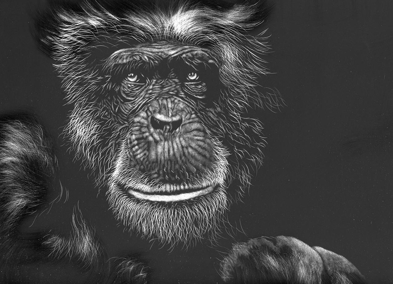 壁紙 描かれた壁紙 サル 白黒 黒色背景 顔 動物 ダウンロード 写真