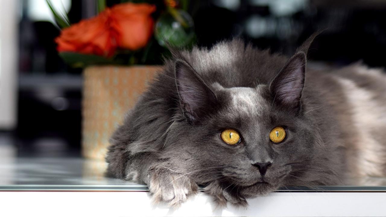 Foto Mancoon Hauskatze Grau Blick ein Tier Maine Coon Katze Katzen graue graues Tiere Starren